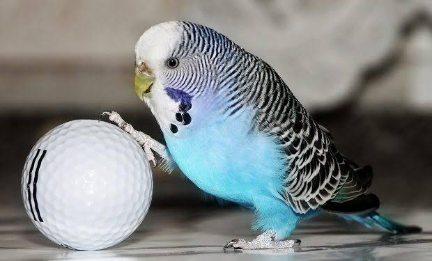 Sivas Muhabbet Kuşu Alım Satım